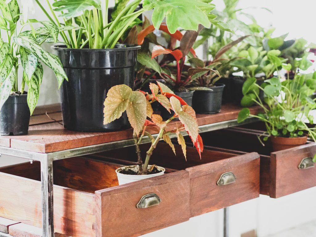 begonia növények