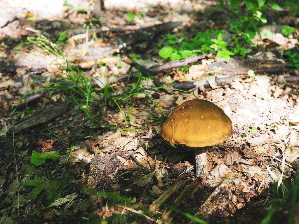 erdő gomba